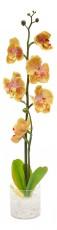 Растение в горшке Орхидея PL307 06262